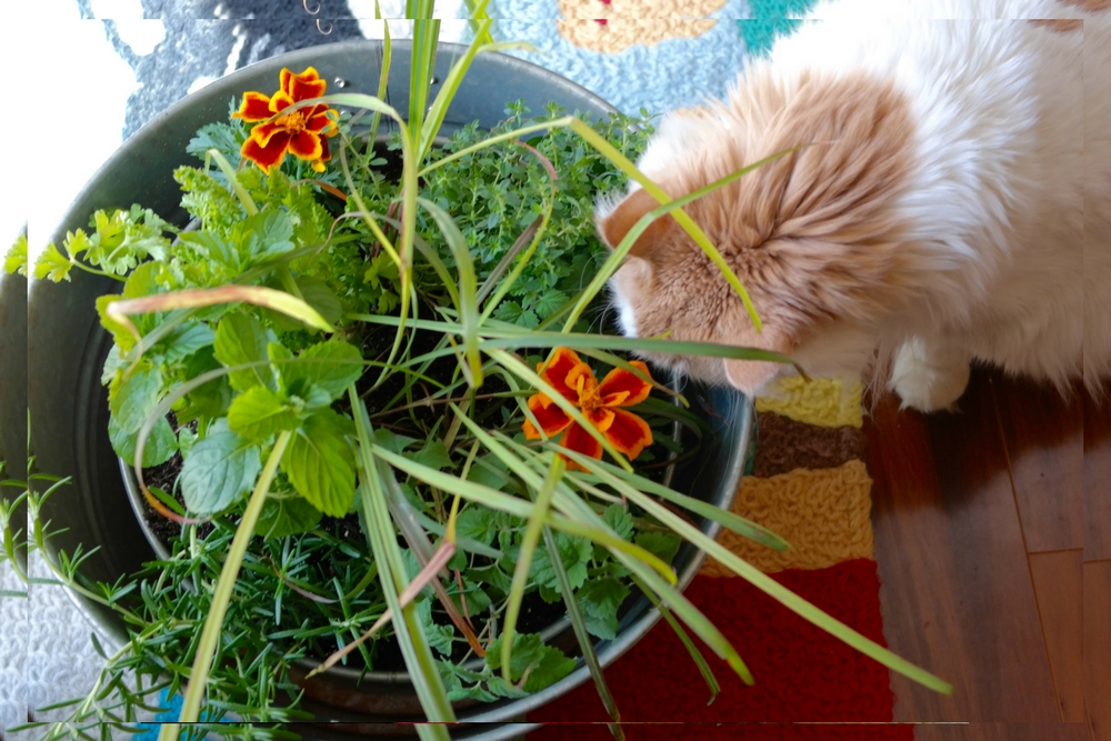 I love gardening and I love cats so I've combined my love of both by creating this fun herb and flower garden for your cats! My cats love their cat garden!